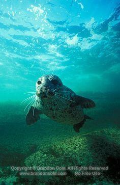 curious seal swims close to scuba diver Marine Photography, Harbor Seal, Lions Photos, Dolphin Art, Ocean Photos, Sea Lions, Deep Blue Sea, Water Life, Clowns