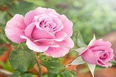 Great Roses Need Great Soil | Stretcher.com - It all starts in the ground