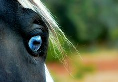 The most stunning blue eyes I've ever seen in a horse, unreal! :)