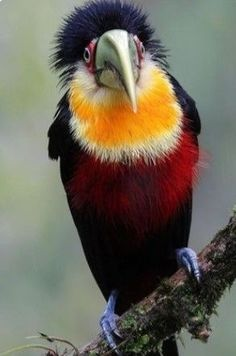 The green-billed toucan or red-breasted toucan (Ramphastos dicolorus) Is a nea Rare Birds, Exotic Birds, Colorful Birds, Most Beautiful Birds, Pretty Birds, Hello Beautiful, Beautiful Creatures, Animals Beautiful, Funny Bird