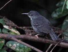 Silvered Antbird - Peru, 2010