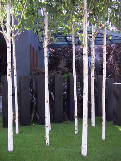 Silver birch trees alternate with the Quercus. Beautiful in the winter, movement and delicate in the summer. White Gardens, Small Gardens, Outdoor Gardens, Small Garden Trees, Modern Landscaping, Outdoor Landscaping, Landscape Architecture, Landscape Design, Gardens