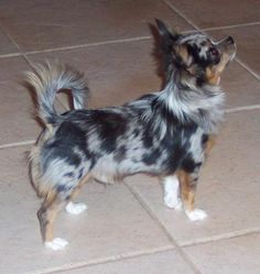 even i would own a chihuahua if it were a long-haired merle