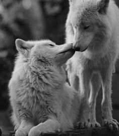 I love the one strong enough to run with me. Wolf love fiercely protects us from harm and keeps us wild ️ Wolf Spirit, My Spirit Animal, My Animal, Wolf Love, Beautiful Creatures, Animals Beautiful, Cute Animals, Stuffed Animals, Wolf Mates