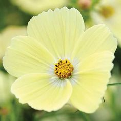 This new variety of cosmos is in a brand-new color of a wonderfully cheery bright yellow. It takes you back to a warm summer's day where all you want to do is sit back with a glass of cool lemonade. If you can't have that, you might as well plant a bunch of this wonderful cosmos! Coming in at 24 inches, it works well in containers or in garden borders, and is perfectly happy as a cut flower as well. Plant name: Cosmos bipinnatus 'Lemonade'™ Growing conditions: full sun Size: 24 inches tall…
