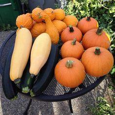 @BotanicalSeeds Harvest time! #pumpkins, #zucchini, & #squash. 85lbs grown in 10sqft thanks to #local, #organic #soil pic.twitter.com/OyIia4K6Q4