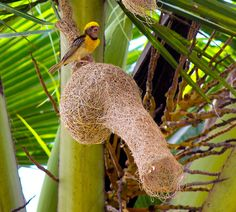 Baya Weaver and nest (Ploceus philippinus) Unique Facts, Nyan Cat, Animal Habitats, Weird And Wonderful, Bird Feathers, Nature Photos, Beautiful Birds, Bird Houses, Beautiful Creatures