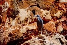 Eastern Reef Egret oder Riffreiher - Yardie Creek Gorge - Cape Range National Park - Exmouth - Western Australia