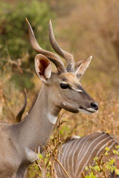 Lesser Kudu by *DeviantTeddine on deviantART