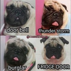 Pugs have a variety of facial expressions. For that reason, pug memes are funny and I hope these 101 dog memes featuring pugs bring a smile to your day! Funny Animal Jokes, Funny Dog Memes, Cute Funny Animals, Funny Cute, Funny Puppies, Cat Memes, Puppy Quotes Funny, Pug Quotes, Beagle Funny
