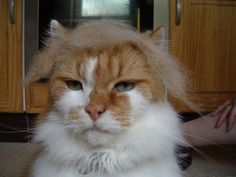 How your cat can look like Donald Trump Kittens Cutest, Cats And Kittens, Donald Trump Hair, Trump Photo, In Ancient Times, Cat Memes, Squirrel, Dogs, Animals