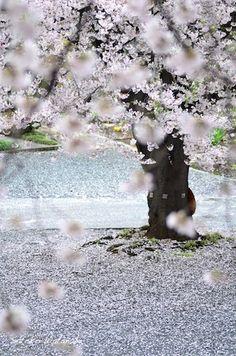Ikebana, Japanese Nature, Cherry Blossom Japan, Flower Shower, Beautiful Sunrise, Beautiful Places To Visit, Japan Travel, Scenery, Landscape