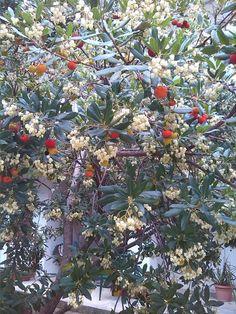Corbezzolo:fiori e frutti