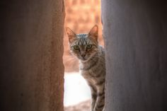 Kasbah Cat