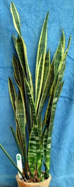 Sansevieria trifasciata laurentii 'Miniature' grow care and maintenance tips: https://www.houseplant411.com/houseplant/sansevieria-snake-plant-how-to-grow