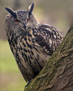 Eurasian Eagle Owl on the Lookout [Explored] | Flickr - Photo Sharing!