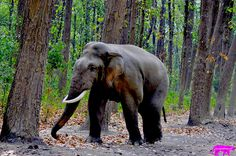 ELEPHANT MUSTH--CORBETT | A community of wildlife photographers to share their photographs, experiences and follow other wildlife photographers.