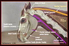 FINAL QR-Equine Head & Neck