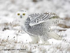 Pictures Of Snowy Owl - Free Snowy Owl pictures ~ Strivia
