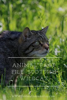 Read our fact file to learn more about the endangered Scottish wildcat Best Picture For animal facts Animal Fact File, Animal Facts For Kids, Animals For Kids, Most Endangered Animals, Extinct Animals, Animals Information, Cat Species, Dawn And Dusk, Feral Cats