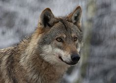 Wolf | by pe_ha45