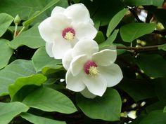 Magnolio, un árbol de belleza singular - http://www.jardineriaon.com/magnolio-un-arbol-de-belleza-singular.html