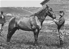 Capt. Myles Keogh's wounded horse, Comanche was the only survivor of Custer's battle at the Little Big Horn