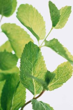 Garden plants and culinary herbs that keep mosquitoes away in summer - Garden Design Ideas Peppermint Plants, Peppermint Leaves, Healing Herbs, Medicinal Herbs, Herbal Plants, Natural Healing, Plants That Repel Bugs, Lavender Bush, Natural Mosquito Repellant