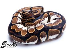 Calico - Flora & Fauna's line - Morph List - World of Ball Pythons