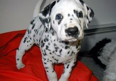 dalmatian (: