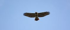 Red-tailed hawk glides over the Ohio & Erie Canal Towpath Trail (photo by volunteer Jeff Hill)