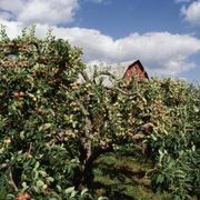 How to Care for Semi-Dwarf Combo Apple Trees | eHow