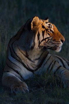 Tiger - Portriat