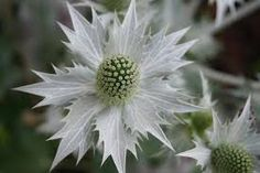 Image result for dried sea holly