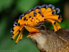 amazonian royal flycatcher . Aqui é chamada de Maria-Leque-do-Sudeste .