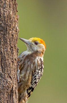 Yellow-crowned woodpecker India, Rajkot, The yellow-crowned woodpecker (Leiopicus mahrattensis) or Mahratta woodpecker- Seen Udawalawe Exotic Birds, Beautiful Birds, Woodpeckers, Creatures, Bird Species, Sri Lanka, Animals, India, Yellow