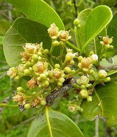 Abajerú (Chrysobalanus icaco)