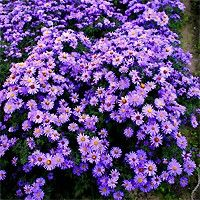 Aster - Woods Blue  does require full sun, but can take some afternoon shade. Pinching back the stem tips in late spring and early summer will produce denser growth and heavier blooming. This plant may be divided every few years in the spring.