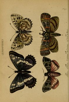 Antique Illustration, Nature Illustration, Butterfly Painting, Butterfly Print, Aesthetic Art, Aesthetic Pictures, Botanical Posters, Poster Wall, Poster Prints