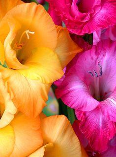 ~~Gladiolus by DavidROMAN~~