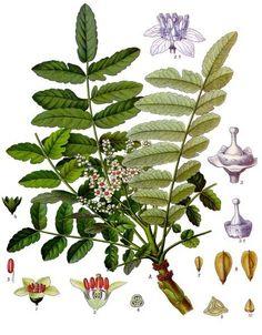 Oleo Frankincense usado com Sucesso na Cura do Cancer