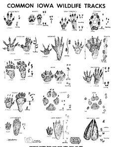 Guide to identify common wildlife tracks | Iowa DNR
