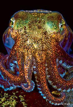 Stubby Squid found at night on the sandy bottom off of Nigei Island, British Columbia