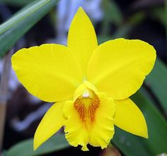 Potinara Mem. Jim Nickou 'James'- Potinara, abbreviated as Pot in the horticultural trade, is the notho-genus [Man-made] comprising those inter-generic hybrids of orchids which have Brassavola, Cattleya, Laelia and Sophronitis as parent genera - Sunset Valley Orchids