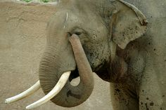 Elephant's Eye Now Excellent After Surgery ... #pets #animals ... PetsLady.com