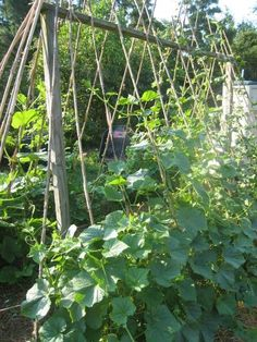 Growing beans, cucumbers, squash, and pumpkins vertically