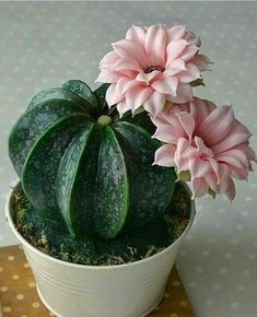 Untitled You are at the right place at Cactus dco. Here we offer you the . - Untitled You are at the right place at Cactus dco. Here we offer you the …, - Terrarium Cactus, Cactus House Plants, Cacti And Succulents, Planting Succulents, Planting Flowers, Flowers Garden, Cactus Care, Cactus Flower, Cactus Cactus