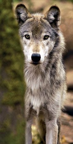 Wolf Credo Respect the elders….Teach the young…Cooperate with the pack Play when you can…Hunt when you must…Rest in between Share your affections…Voice your feelings…Leave your mark.