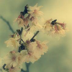 faded blossom   Tracey Lloyd