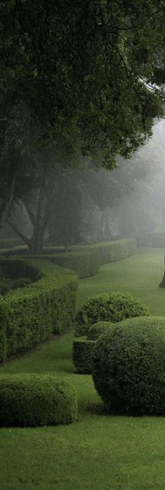 Morning mist in the garden ~boxwood hedges